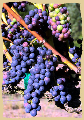 Click to enlarge. Pinot Noir and Chardonnay grapes are grown in the vineyard by the Equine Research Foundation.