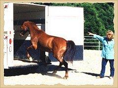Horse entering trailer.