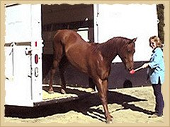 Horse leaving trailer.
